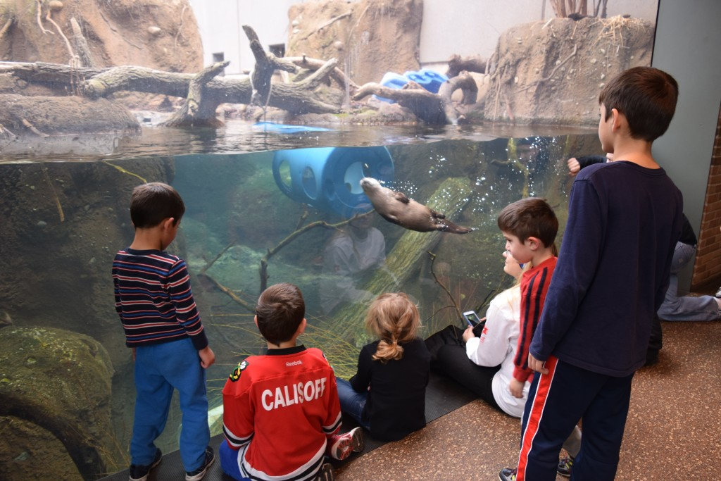 Otters at the Pritzker Family Zoo
